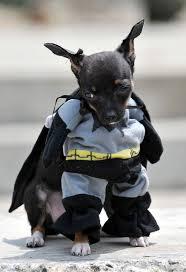 halloween batman costumes 104 best bat animals images on pinterest animals bats and funny