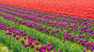 tulip fields at skagit valley largest floral festival in wa