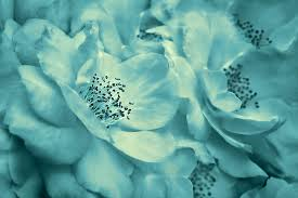 teal roses whispers of teal roses photograph by jennie schell
