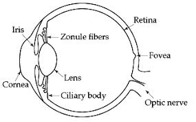 Pathway Of Light Through The Eye Eye And Retina