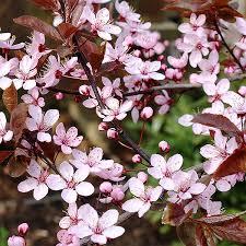 prunus cerasifera nigra ornamental plum tree shrub