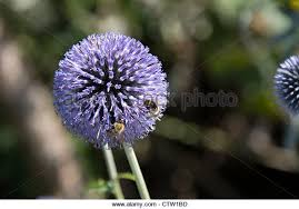 ornamental thistle stock photos ornamental thistle stock images