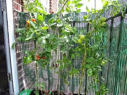 growing your own tomatoes the runner beans