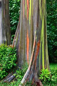 23 best rainbow eucalyptus tree images on rainbow