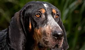 bluetick coonhound lab mix puppies for sale bluetick coonhound breed information