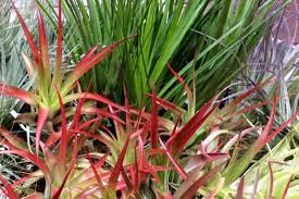 caring for tillandsias u2013 down to earth home garden and gift