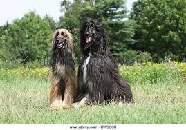 afghan hound group afghan hound dog sitting stock photos u0026 afghan hound dog sitting