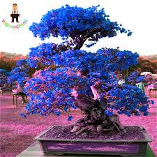 top selling sky blue bougainvillea spectabilis willd seeds bonsai