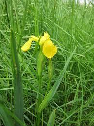 Iris Flag Iris Clevedon Pill