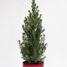 Planting Christmas Tree Seedlings Buy Tabletop Living Green Christmas Tree And Red Pot Tabletop