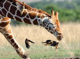 Giraffe Hat Meme - the beauty of a sneezing giraffe album on imgur