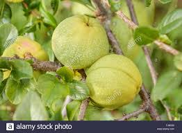 ornamental quince chaenomeles speciosa fruits on a branch