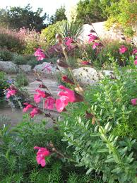 native plants to texas rock rose texas native plant week oct 16th 22nd what to grow