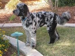 belgian sheepdog poodle mix australian shepherd goldendoodle mix creatures great and small