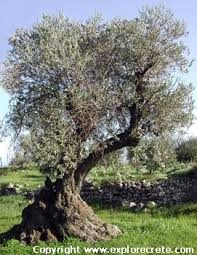 olive tree and olive