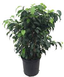 Plants That Need Low Light by Amazon Com Wintergreen Weeping Fig Tree Ficus Great Indoor