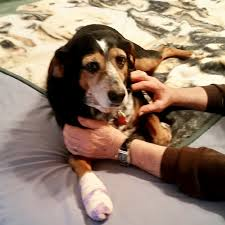 7 month old bluetick coonhound dog attacks continue in sussex county cape gazette