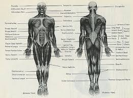 Anatomy Of Body Muscles Anatomy And Kinesiology By Dr Julia Evergreen Keefer