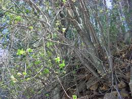 vascular plants of the gila wilderness vascular plants of the gila wilderness acer glabrum