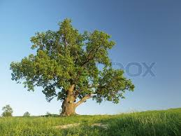 the big lonely oak tree on a green meadow against the blue sky with