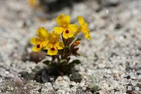 plants we conserve capr california plant rescue