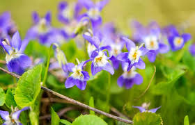 Fragrant Flowers For Garden - most fragrant perennials for the pacific northwest gardens