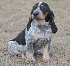 bluetick coonhound apparel bluetick coonhound u2026 all things animal pinterest bluetick
