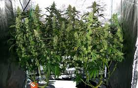 biggest house plants complete guide to cannabis plant training grow weed easy