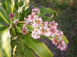 file dracaena fragrans massangeana flower jpg wikimedia commons