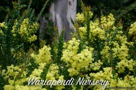 edible australian native plants plants for clay soils native plant and revegetation specialists