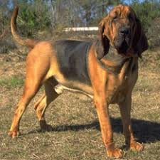 bluetick coonhound and bloodhound mix hound dog breed group american kennel club
