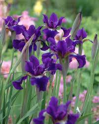 iris flowers iris flowers hgtv