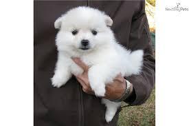 american eskimo dog dallas toy american eskimo dog puppy