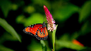 4k butterflies and flowers wallpapers high quality download free
