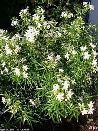 Flowering Shrubs For Partial Sun - 97 best shrubs images on pinterest flowering shrubs flowers and