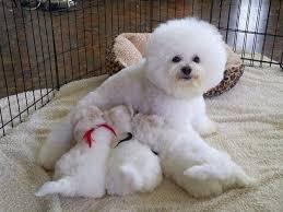 1 week old bichon frise hollyhock bichons bichon frise puppies for sale