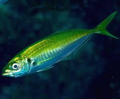japanese horse mackerel fish modern farming methods