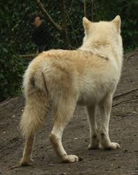 his back wolf stock by losrebeckos on deviantart