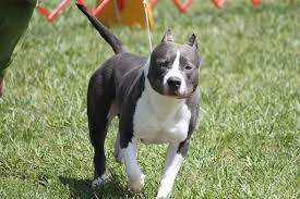 american pitbull terrier info american staffordshire terrier breed information american