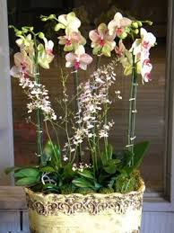 oncidium orchid phalaenopsis and oncidium orchids in los angeles ca flowers