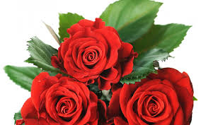 flower red love forever special valentine day passion roses amour