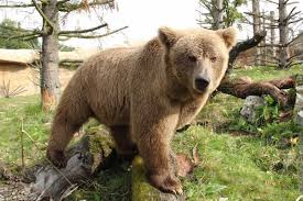 himalayan brown bear wikipedia
