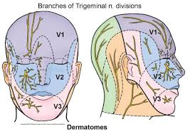 Dermatomes Map Image Gallery Scalp Dermatomes