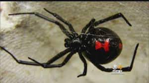 Black Widow Spiders Had A - mendon girl bit by black widow spider youtube
