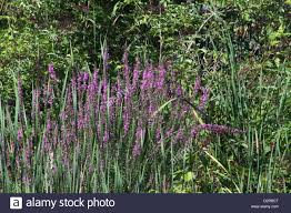 plant native purple loosestrife is an invasive weed plant native to europe and