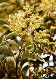 26 best variegata trees grown at barcham trees plc uk images on