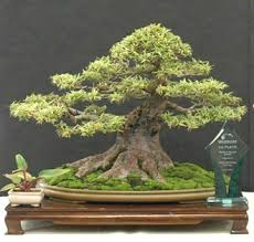 buy a bonsai tree what to look for