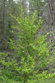 30 plants that will grow near black walnut trees in zone 3