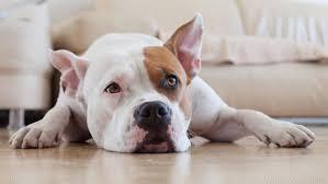dog euthanasia dog food recall after euthanasia found across