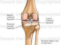 Back Knee Anatomy Posterior Knee Ligaments Medical Illustration Human Anatomy